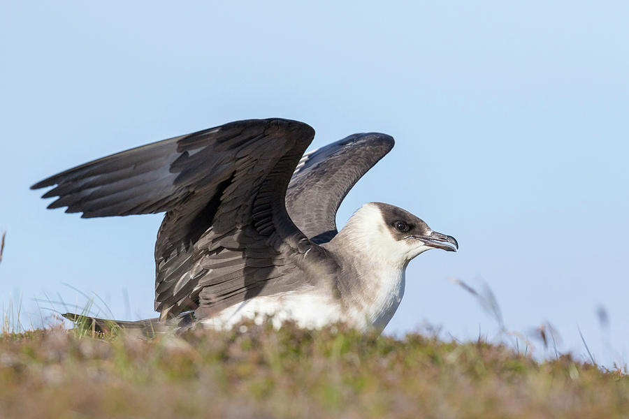 Aggressive Photograph - Arctic Skua Or Parasitic Jaeger Or by Martin Zwick