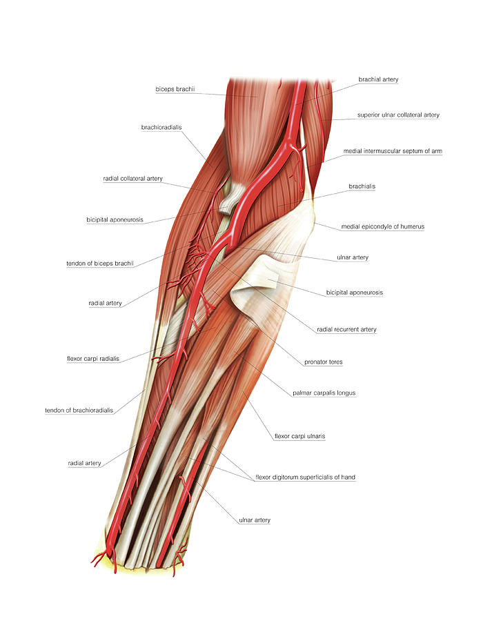 Arterial System Of The Forearm Photograph By Asklepios Medical Atlas