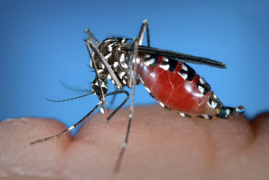 tiger photographs Asian mosquito
