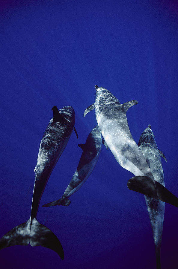 Atlantic Spotted Dolphin Adults Photograph by Flip Nicklin