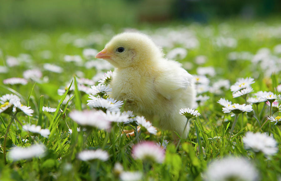 Austria, Baby Chicken In Meadow, Close Photograph by Westend61