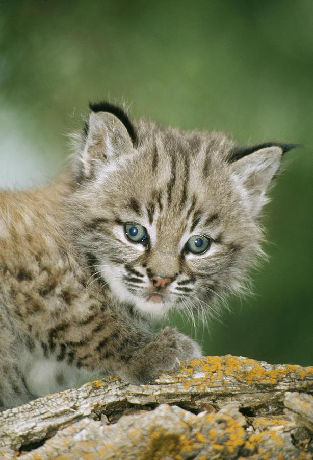 bobcat - photo #47