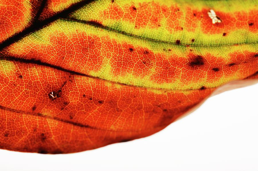 Plant Photograph - Backlit Autumnal Leaf by Mauro Fermariello/science Photo Library