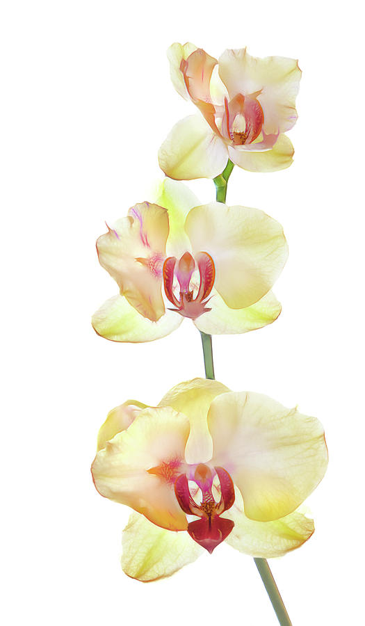 Vertical Photograph - Backlit Orchids Against White Background by Panoramic Images
