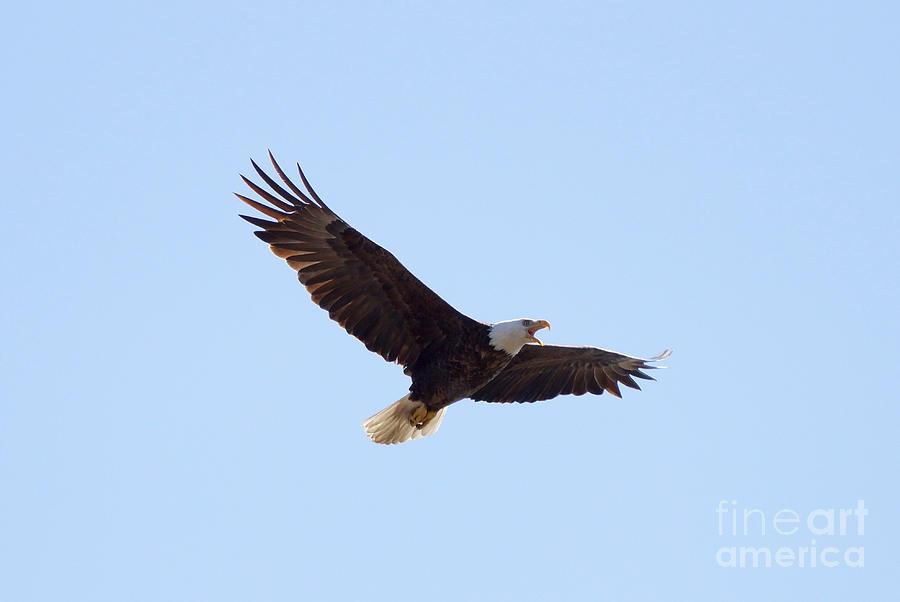 Eagle Photograph - Bald Eagle Calling by Lori Tordsen