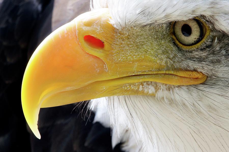 Bald Eagle Photograph - Bald Eagle by John Devries/science Photo Library