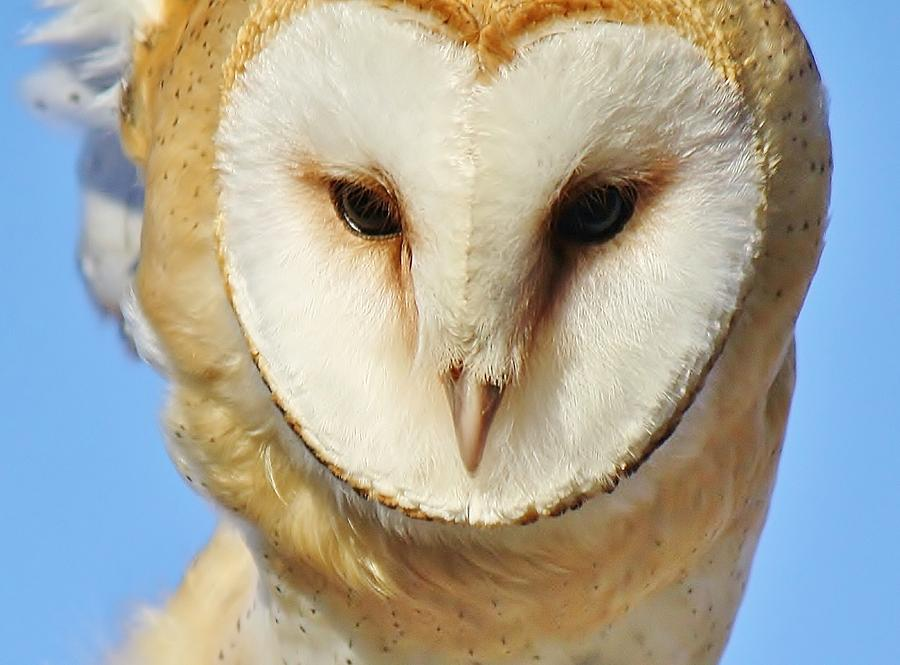 Bird Photograph - Barn Owl Up Close by Paulette Thomas