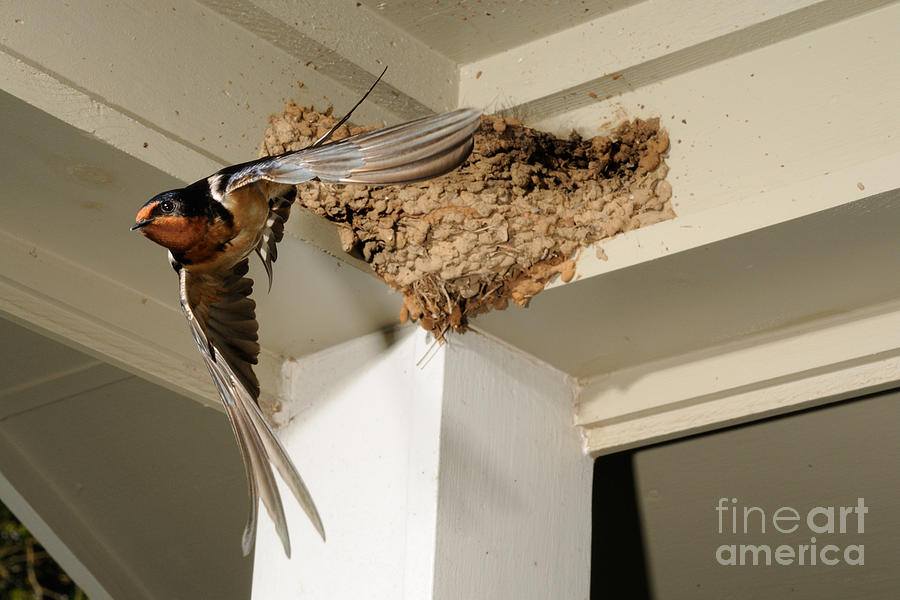 Barn Swallow Photograph - Barn Swallow by Scott Linstead