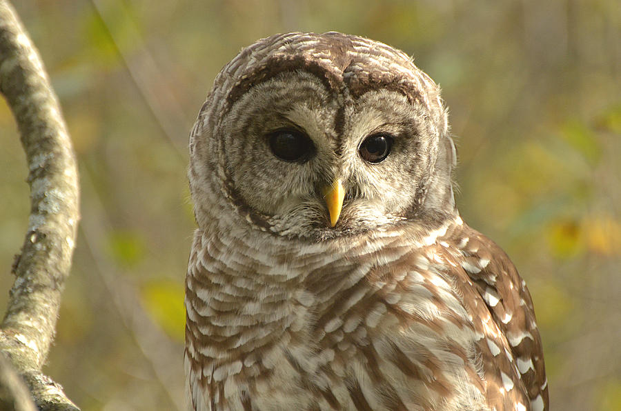 Barred Owl Photograph - Barred Owl by Nancy Landry