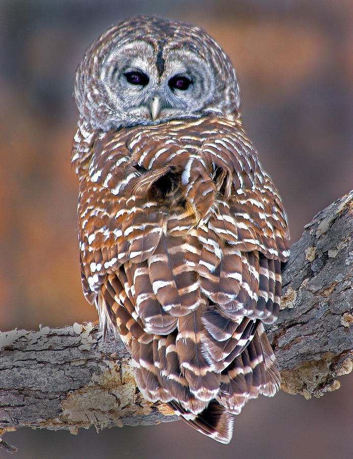 Barred Owl by Pristine Images