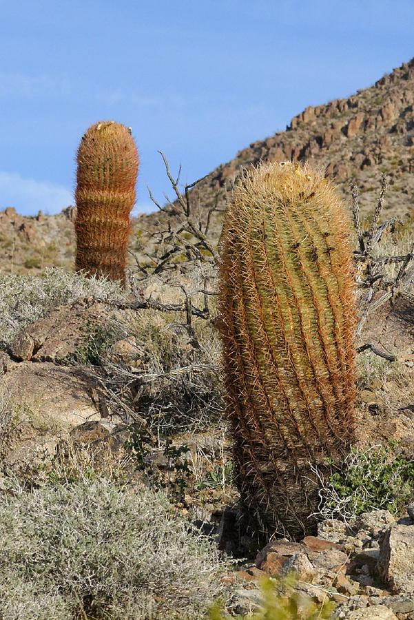 Cactus Photograph - Barrel Cactus by Jim Thompson
