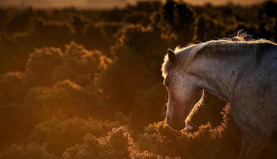 New Forest Pony Photograph - Beautiful Image Of New Forest Pony Horse Backlit By Rising Sun I by Matthew Gibson