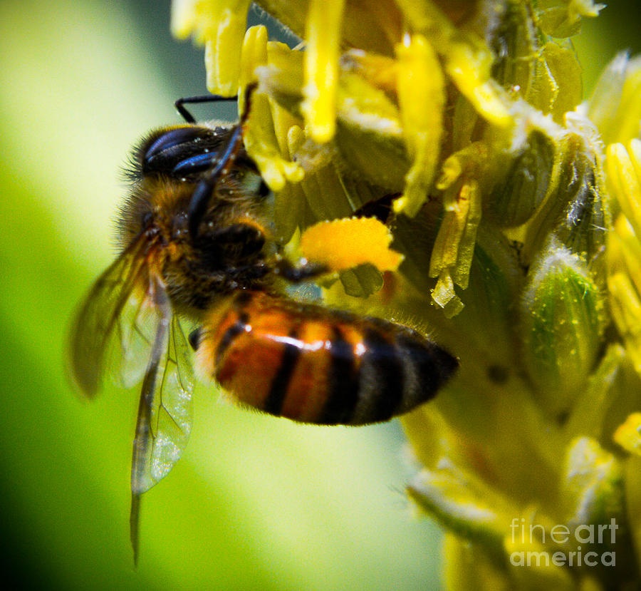 Bee Photograph - bee by Kenroy Rhoden