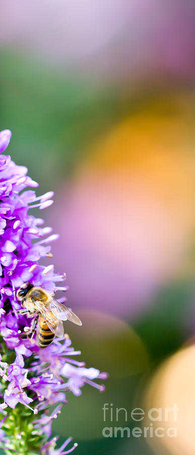 Bee on Lavender by Patricia Bainter