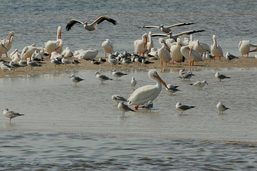 White Pelicans Photograph - Behind Schedule by Frederic Vigne