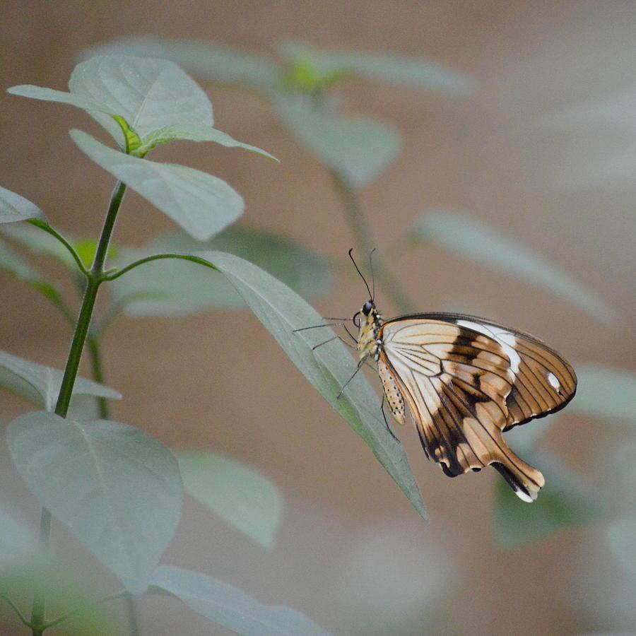 Butterfly Photograph - Beige On Beige Butterfly by Merridy Jeffery