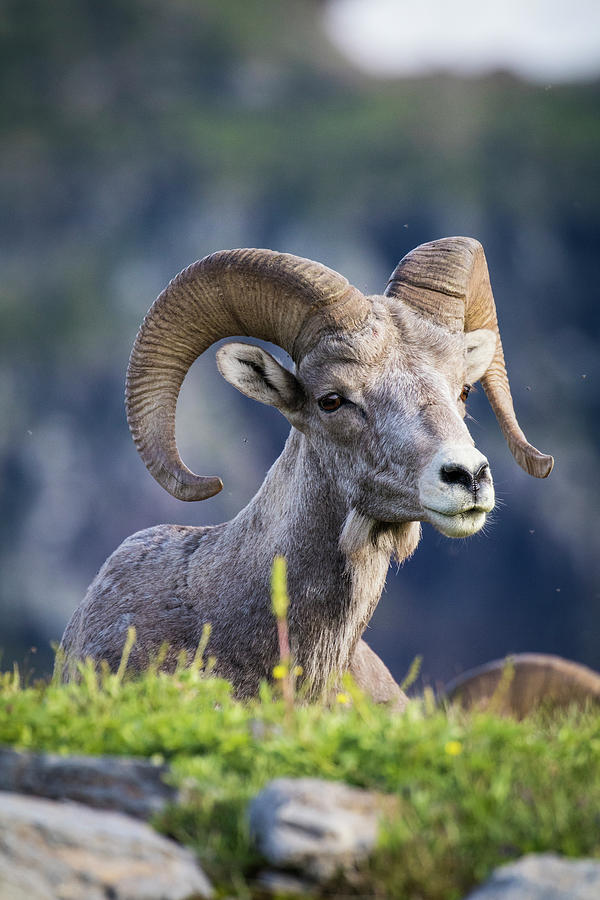 Alpine Photograph - Bighorn Sheep, Glacier National Park by Yitzi Kessock