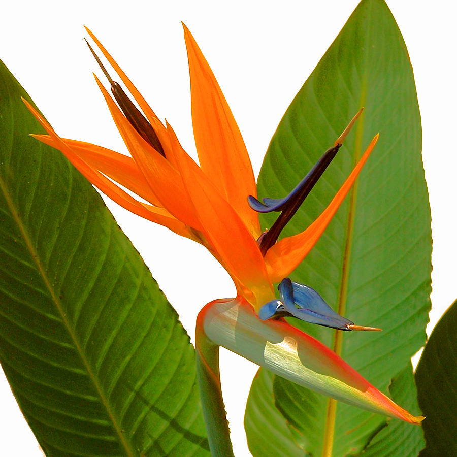 Bird of Paradise by Peg Urban