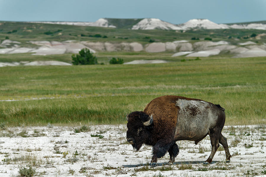 Bison In Badlands National Park Photograph by Mark Newman
