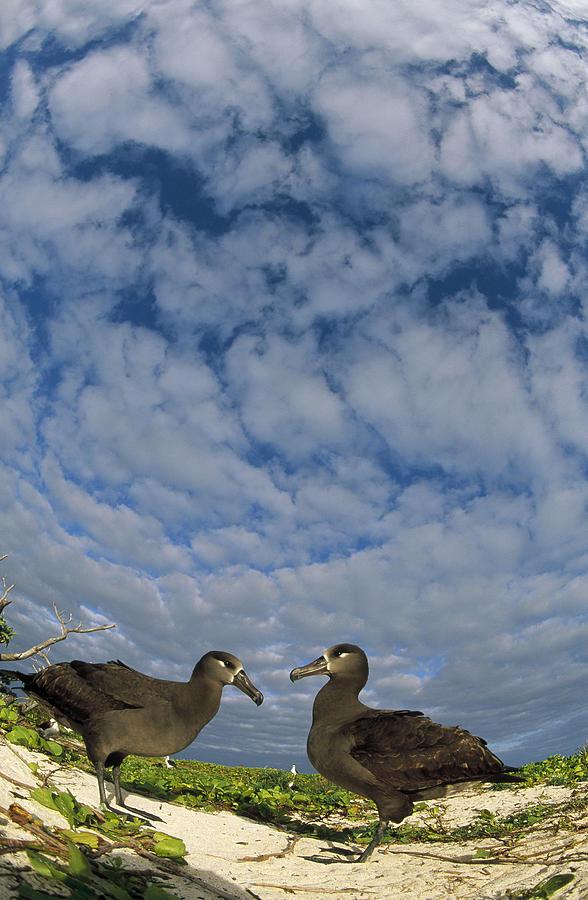 Feb0514 Photograph - Black-footed Albatross Courtship Dance by Tui De Roy