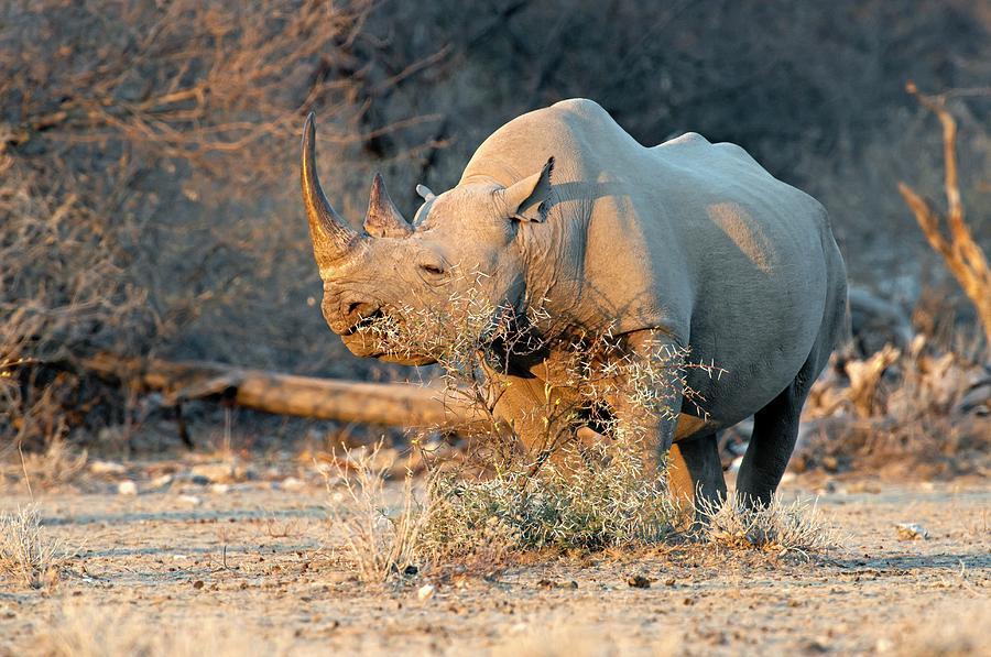 Africa Photograph - Black Rhinoceros by Tony Camacho