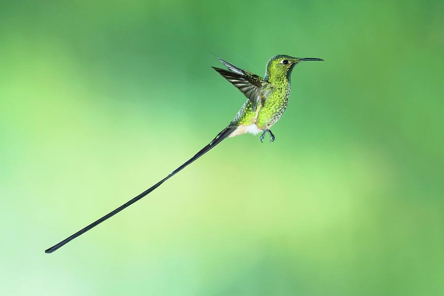 Black-tailed Trainbearer Photograph - Black-tailed Trainbearer Hummingbird by Tony Camacho/science Photo Library
