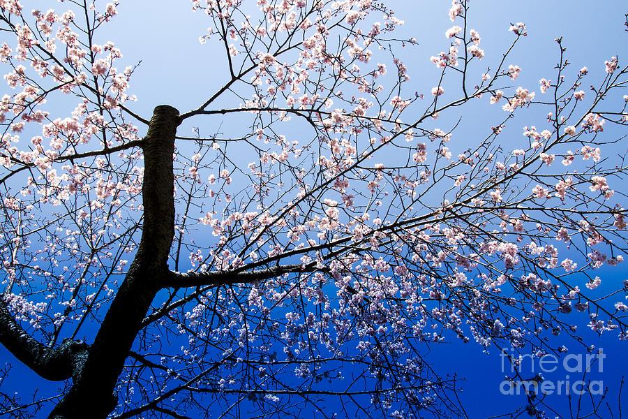 Sakura Photograph - Bloom by Tad Kanazaki