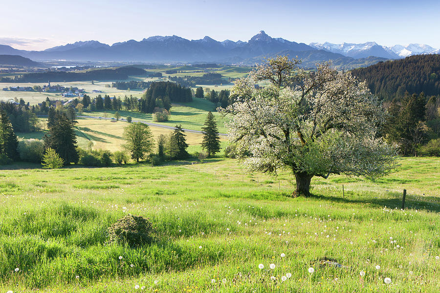 Blooming Apple Tree In A  Meadow Photograph by Ingmar Wesemann