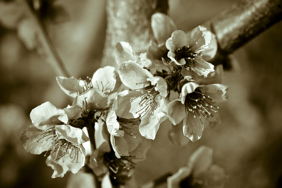 Blossoms Photograph - Blossoms by Frank Tschakert