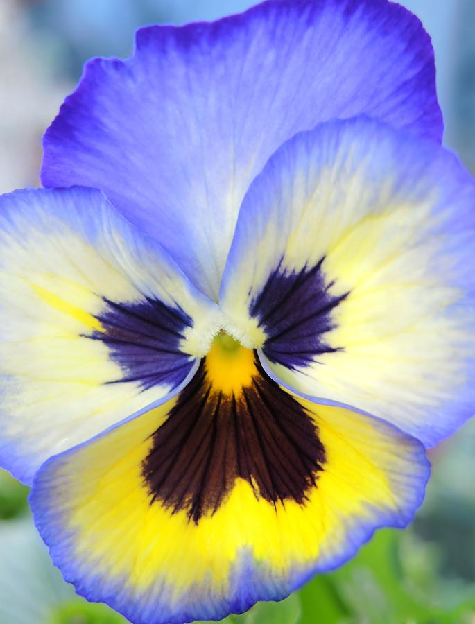 how to take care of pansy flowers