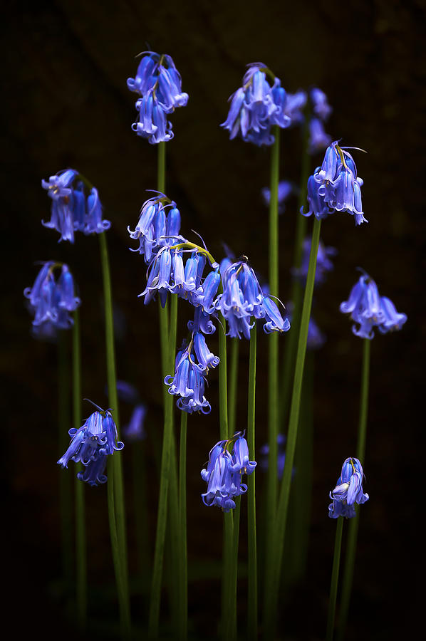 Beautiful Photograph - Blue Bells by Svetlana Sewell