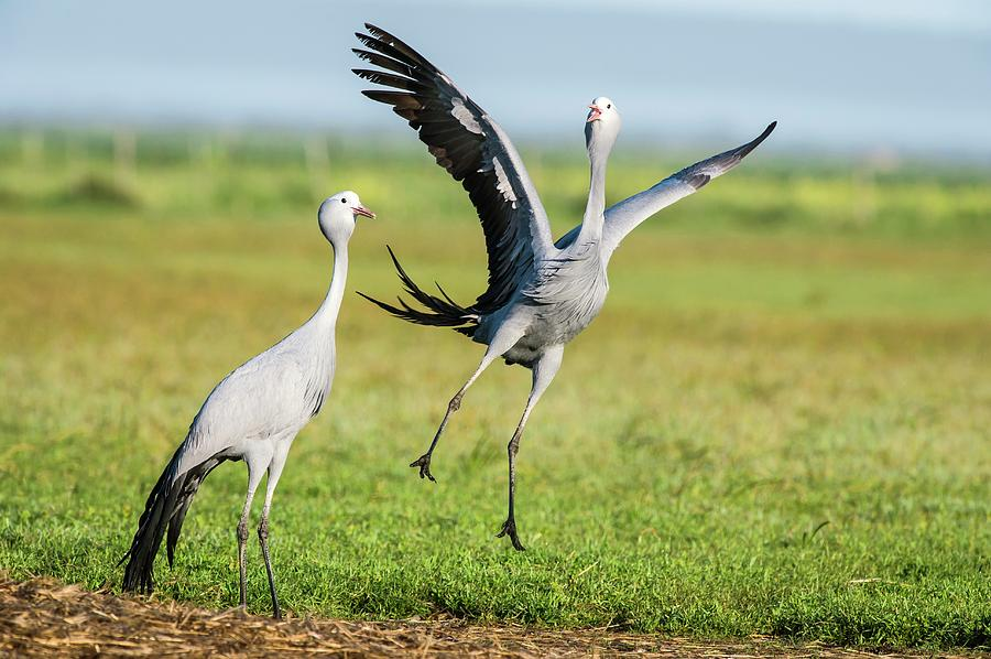 the cranes by peter meinke It is clear in the descriptions from the outset that the couple are out to commit some kind of unnatural act the fact that there is a shower curtain on the front seat that cracked and hissed.