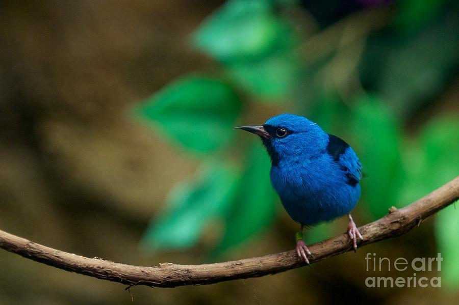 Blue Dacnis by Miguel Celis