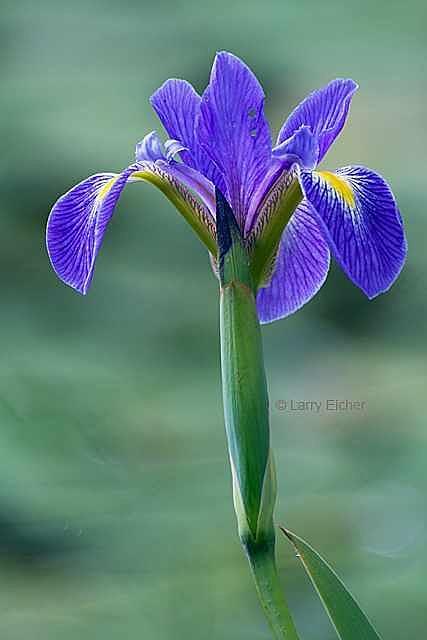 Flower Photograph - Blue Flag Iris 1 by Larry Eicher