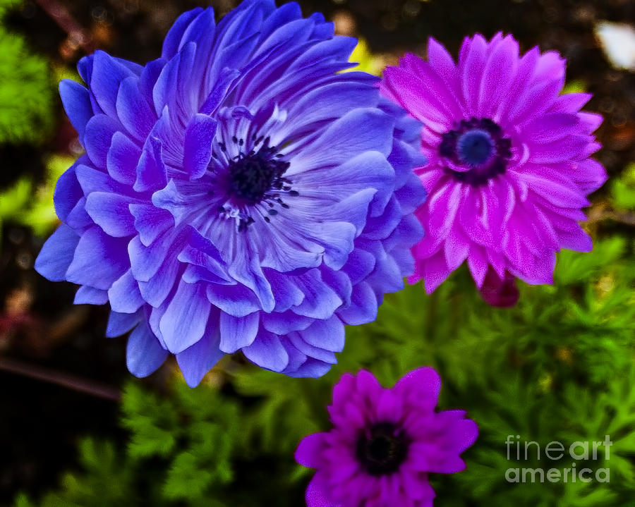 Flowers Photograph - Blue Flower by Michael Fisher