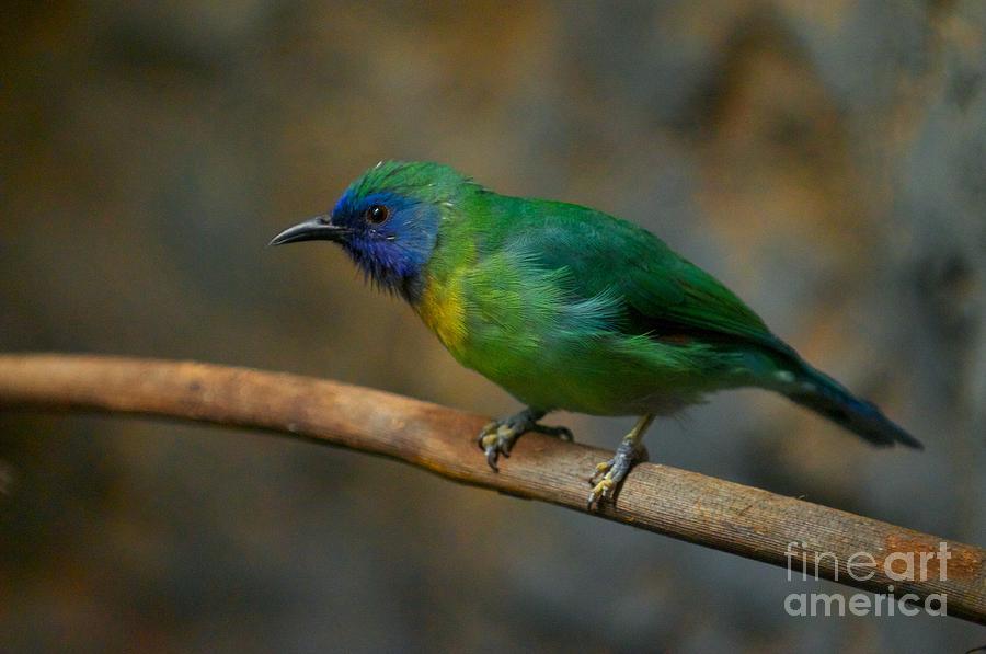 Blue Masked Leafbird by Miguel Celis