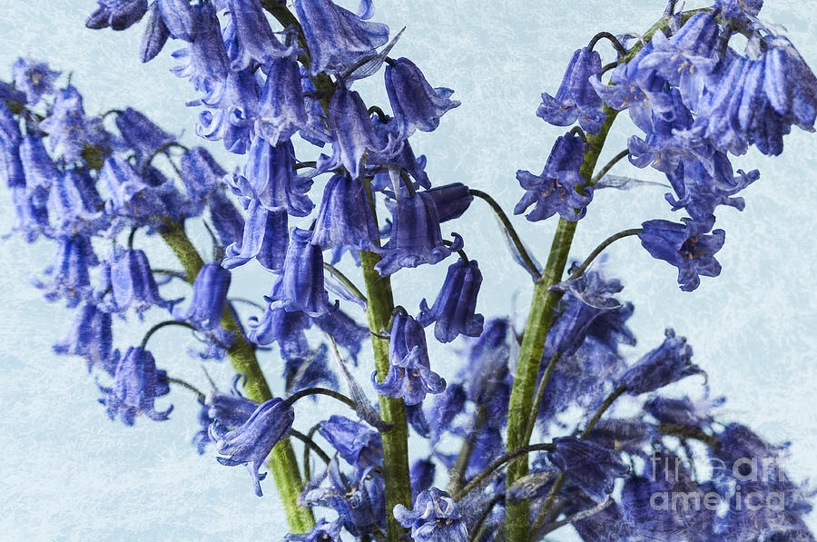 Bluebell Photograph - Bluebells 2 by Steve Purnell