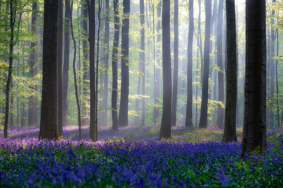 Landscape Photograph - Bluebells by Adrian Popan
