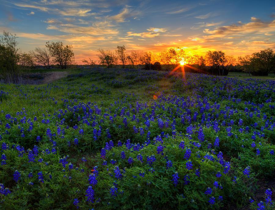 Texas Bluebonnets Photograph - Bluebonnets by Mark Alder