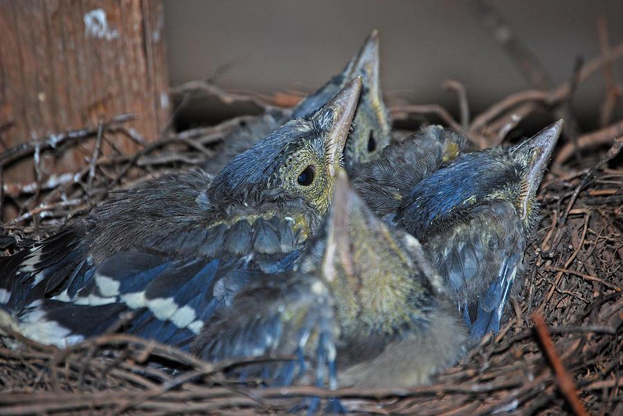 Bluejay Photograph - Bluejay Chicks by Jaron Wood