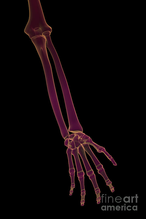 Bones Of The Lower Arm Photograph By Science Picture Co