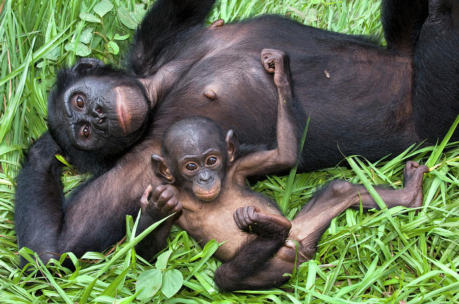 Bonobo Photograph - Bonobo Ape Mother And Young by Tony Camacho/science Photo Library