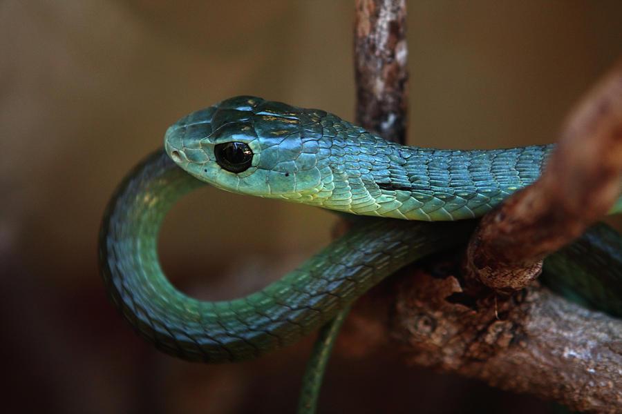 Snakes Photograph - Boomslang by Aidan Moran