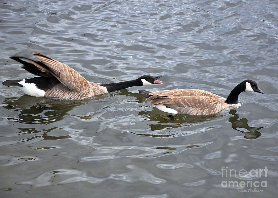 Canada Goose Photograph - Bossy Canada Goose by Susan Wiedmann