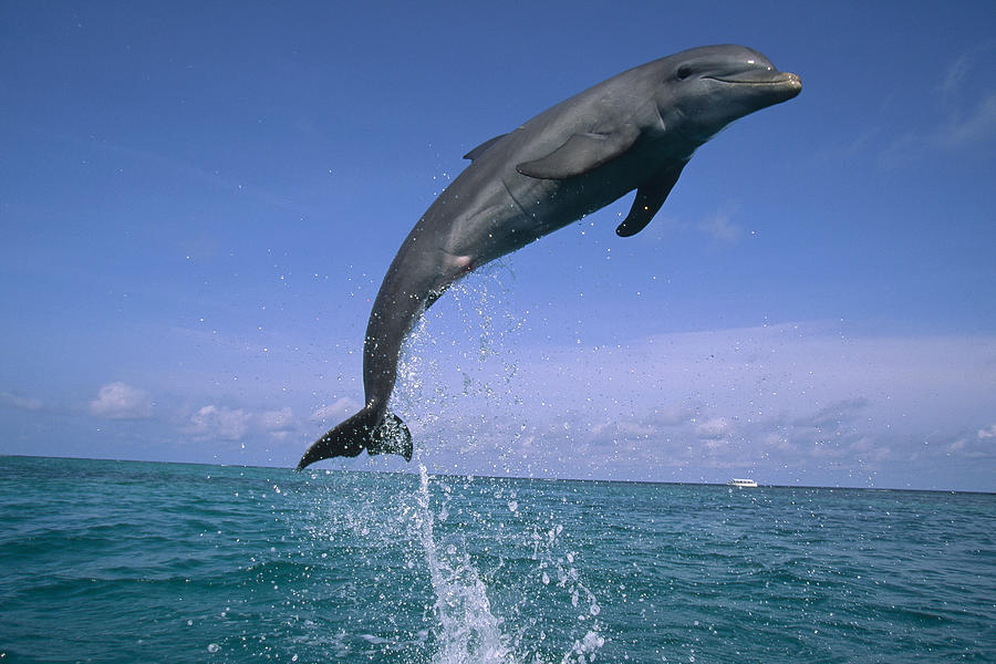 Bottlenose Dolphin Leaping Honduras Photograph by Konrad Wothe