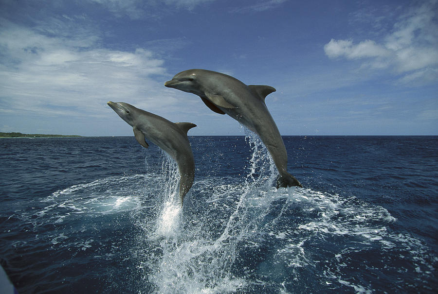 Bottlenose Dolphin Pair Leaping Honduras Photograph by Konrad Wothe