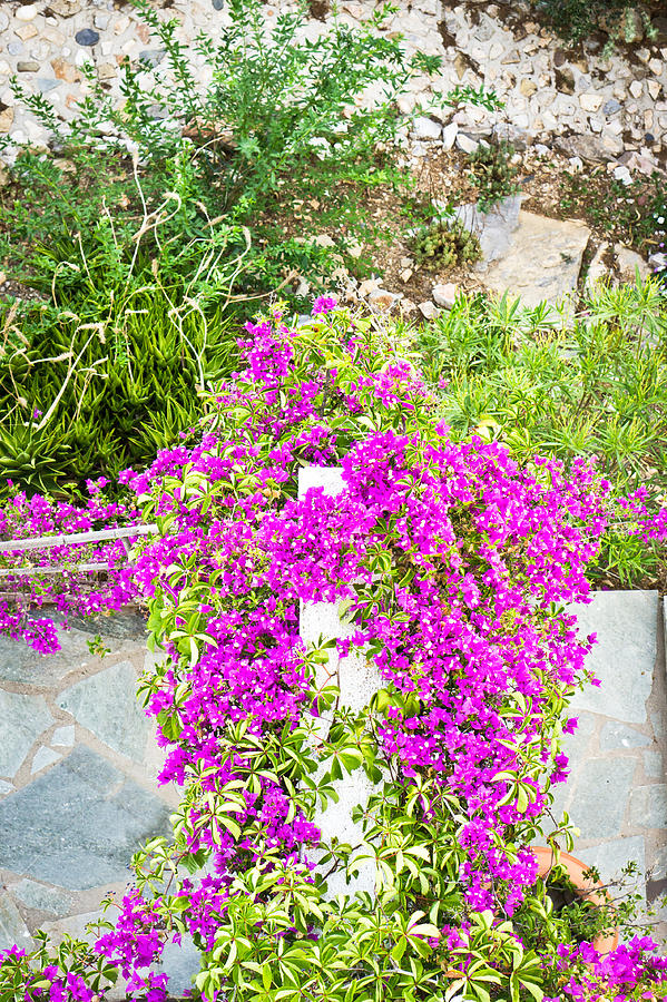 Bougainvillea Photograph