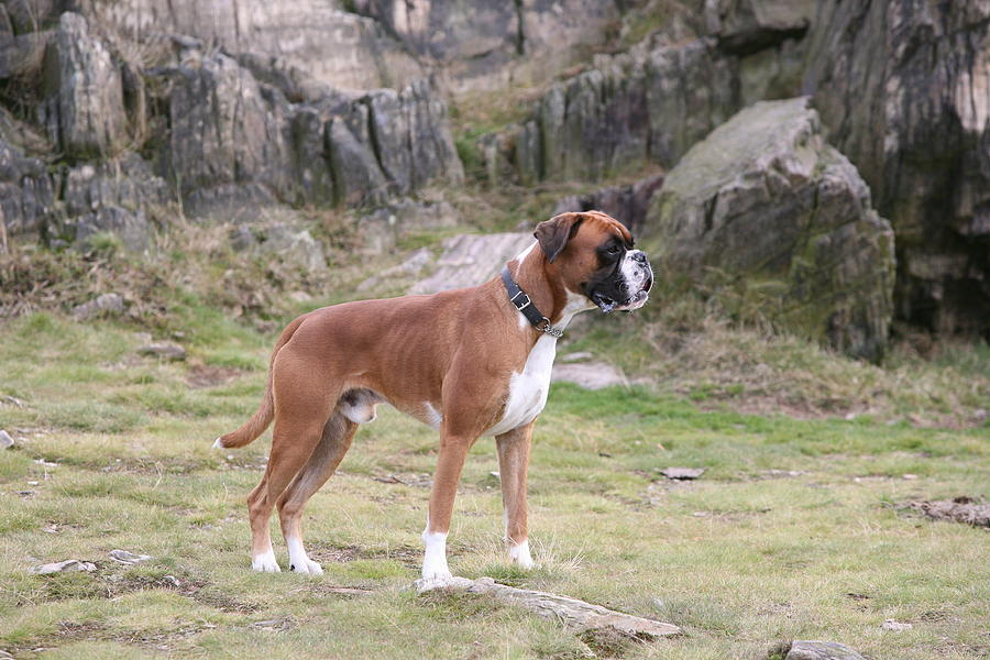 Dog Photograph - Boxer Dog by Mark Severn