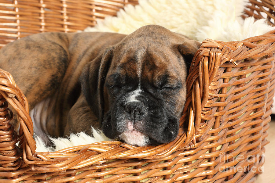 Nature Photograph - Boxer Puppy by Mark Taylor