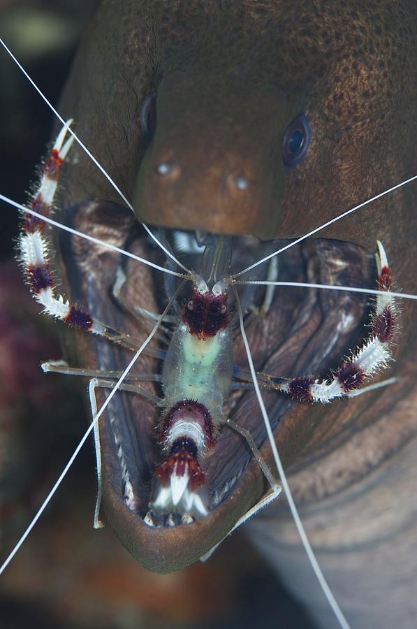 Banded Boxer Shrimp Photograph - Boxer Shrimp Cleaning In Mouth Of Eel by Science Photo Library